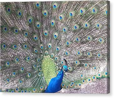 Canvas Print featuring the photograph Peacock Bow by Caryl J Bohn