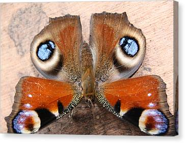 Refuses To See Canvas Print - Peacock Butterfly by Liz Bills