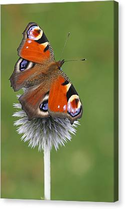 Peacock Butterfly Netherlands Canvas Print by Silvia Reiche