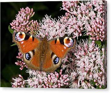 Eating Entomology Canvas Print - Peacock Butterfly On Hemp Agrimony by Bob Gibbons