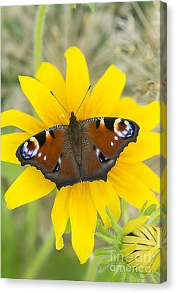 Peacock Butterfly On Rudbeckia Flower  Canvas Print by Tim Gainey