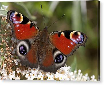 Peacock Butterfly Canvas Print by Richard Thomas