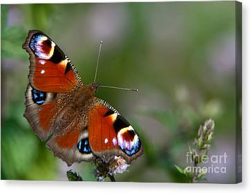 Peacock Butterfly Canvas Print by Torbjorn Swenelius