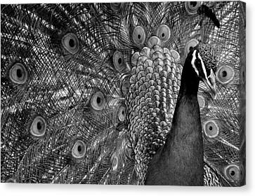 Canvas Print featuring the photograph Peacock Bw by Ron White