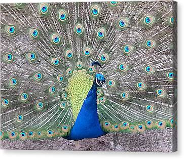 Canvas Print featuring the photograph Peacock by Caryl J Bohn
