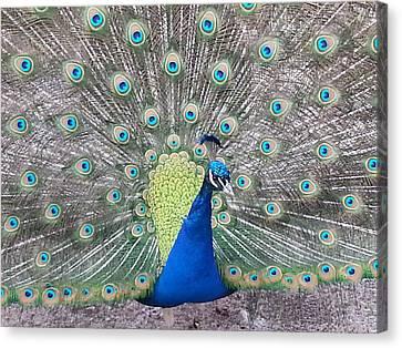 Peacock Canvas Print by Caryl J Bohn
