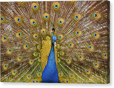 Peacock Courting Canvas Print by Charles Beeler