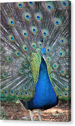 Canvas Print featuring the photograph Peacock by Elizabeth Budd
