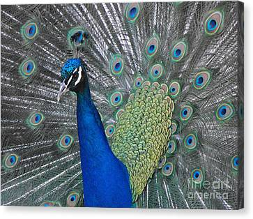 Peacock Canvas Print by Erick Schmidt