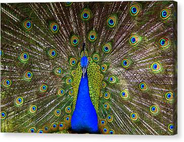 Peacock Extraordinaire  Canvas Print by DerekTXFactor Creative