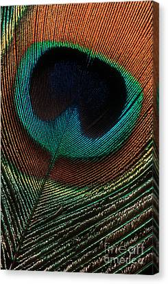 Canvas Print featuring the photograph Peacock Feather by Jerry Fornarotto