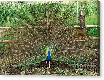 Canvas Print featuring the photograph Peacock Full Glory by Eva Kaufman