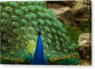 Jamesbarber Canvas Print - Peacock by James Barber