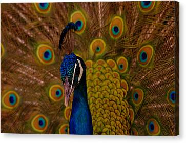 Peacock Canvas Print by Jeff Swan