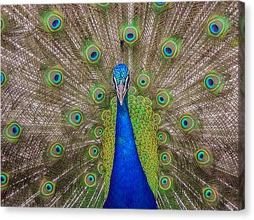 Canvas Print featuring the photograph Peacock by Leigh Anne Meeks