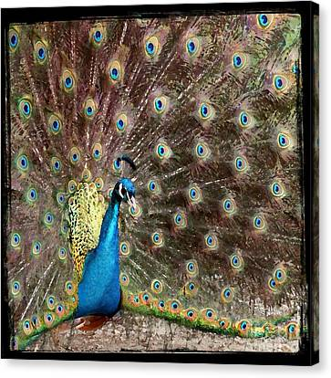 Peacock Canvas Print by Leslie Hunziker