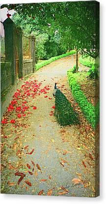 Peacock Path A Canvas Print by Dulce Levitz