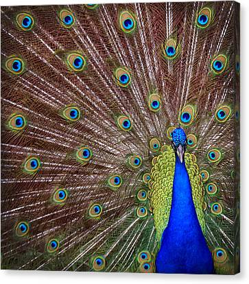 Canvas Print featuring the photograph Peacock Squared by Jaki Miller