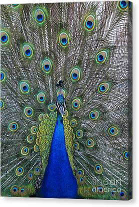Peacock Canvas Print by Steven Ralser