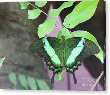 Canvas Print featuring the photograph Peacock Swallowtail by Lingfai Leung