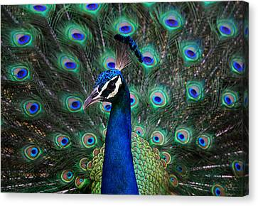 Peafowl Canvas Print - Peacock by Unknown