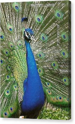 Canvas Print featuring the photograph Peacock Waltz by Ella Kaye Dickey