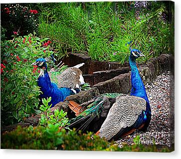 Peacocks In The Garden Canvas Print