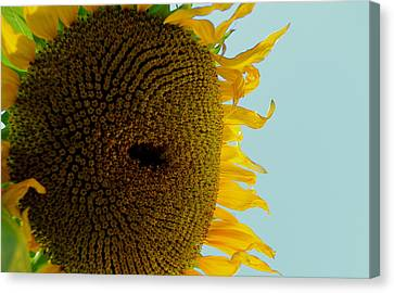 Peak A Boo Sunflower Canvas Print