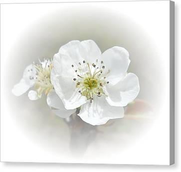 Pear Blossom Canvas Print by Judy Hall-Folde