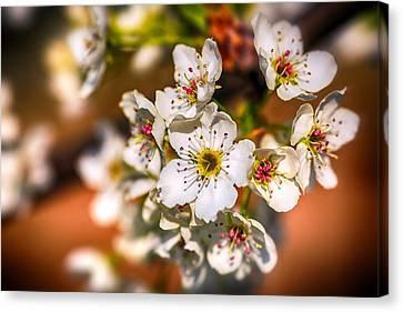 Pear Tree Blossoms Canvas Print
