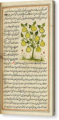 Pear Tree Canvas Print by British Library