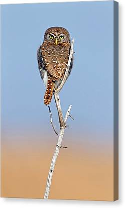 Pearl-spotted Owlet Canvas Print