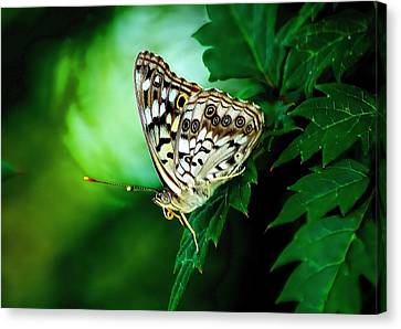 Pearly-eye Butterfly Canvas Print by Ed Roberts