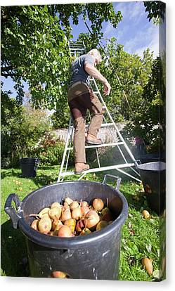 Pears Being Harvested To Make Perry Canvas Print