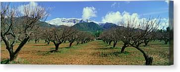 Pecan Trees, Ojai, California Canvas Print by Panoramic Images