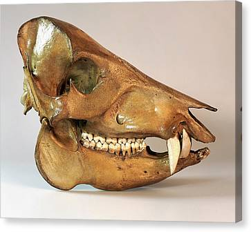 Peccary Skull Canvas Print by Ucl, Grant Museum Of Zoology