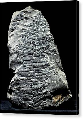 Pecopteris Fern Fossil Canvas Print