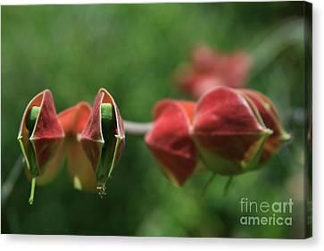 Pedilanthus Bracteatus Euphorbiaceae - Slipper Plant  Canvas Print by Sharon Mau