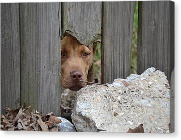 Dog Canvas Print - Peek A Boo by Kim Stafford