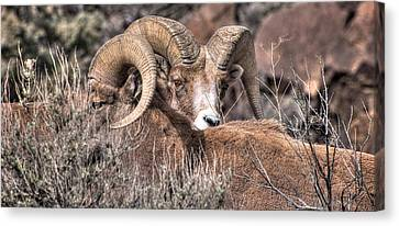 Peekaboo Bighorn  Canvas Print by Britt Runyon