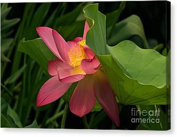 Peekaboo Lotus Blossom Canvas Print