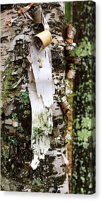 Peeling Birch Canvas Print by Adam Pender
