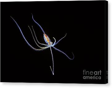 Simple Beauty In Colors Canvas Print - Pelagic Species Of Octopus No More Than Five Inches Across At Night In Coral Sea_ Australia by Dave Fleetham