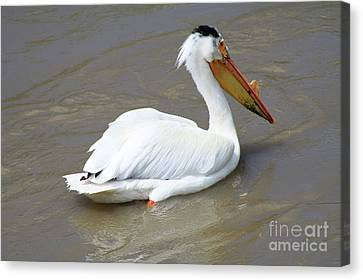 Canvas Print featuring the photograph Pelecanus Eerythrorhynchos by Alyce Taylor