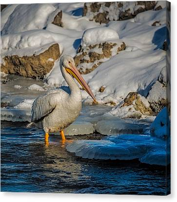 Pelican And Ice Canvas Print by Paul Freidlund