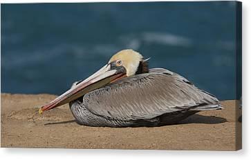 Pelican Beach Canvas Print