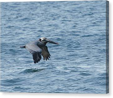 Brian Rock Canvas Print - Pelican by Brian Rock