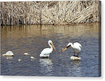 Fountain Creek Nature Center Canvas Print - Pelican Confrontation by Diane Alexander