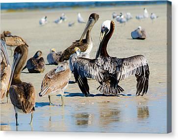 Pelican Drying Canvas Print