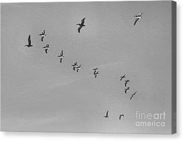 Pelican Flying Formation II Canvas Print by Scott Cameron
